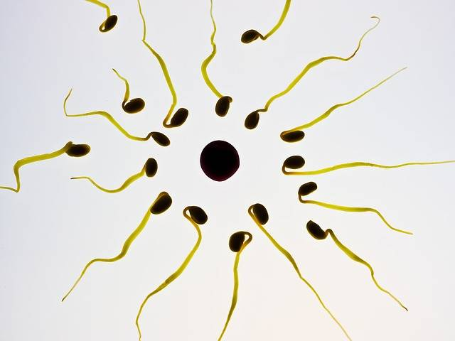 Free photo: Sperm, Egg, Fertilization, Sex Cell - Free Image on Pixabay - 956481 (44158)