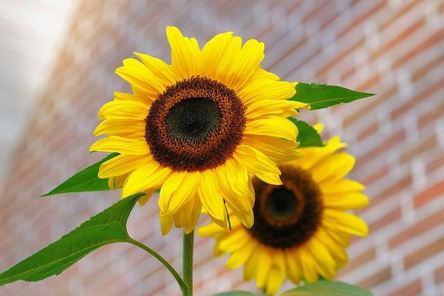 Free photo: Sunflower, Flowers, Bright, Yellow - Free Image on Pixabay - 448654 (59015)