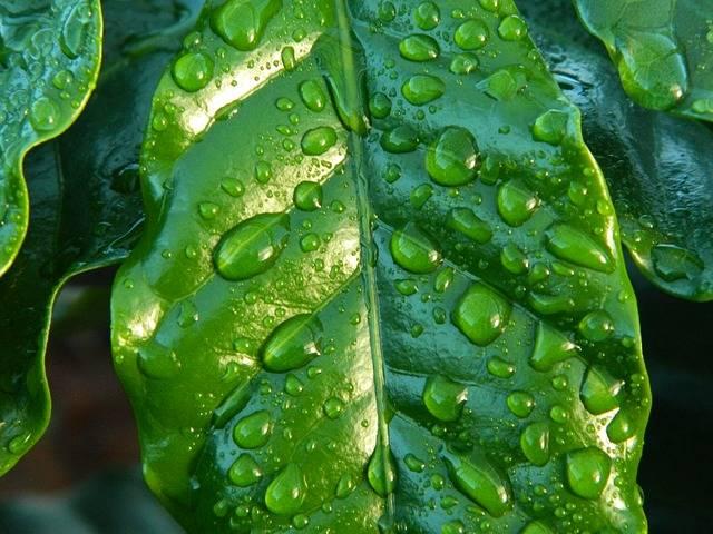 Free photo: Leaf, Rain, Coffee, Water - Free Image on Pixabay - 654121 (59560)