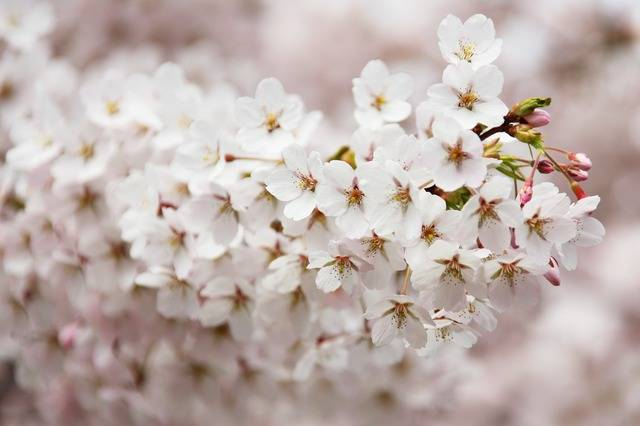 Free photo: Bloom, Blooming, Blossom, Branch - Free Image on Pixabay - 2525 (64352)