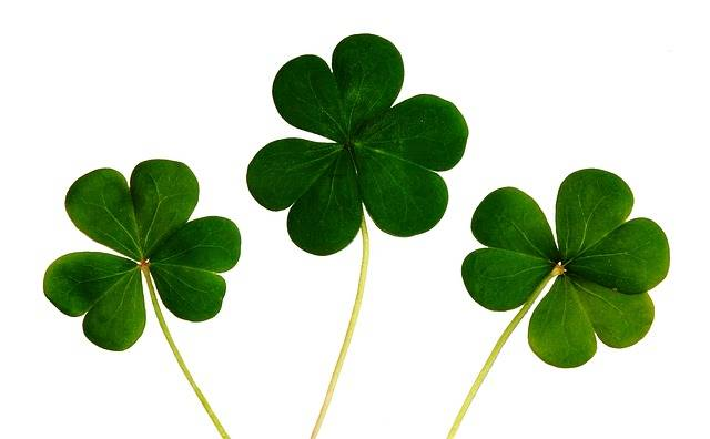 Free photo: Clover, Shamrocks, Irish, Day, Luck - Free Image on Pixabay - 445255 (65145)