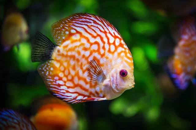 Free photo: Discus Fish - Free Image on Pixabay - 1943755 (80048)