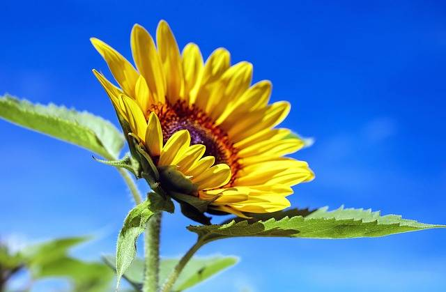 Free photo: Sun Flower, Flower, Flowers, Yellow - Free Image on Pixabay - 1536088 (85097)