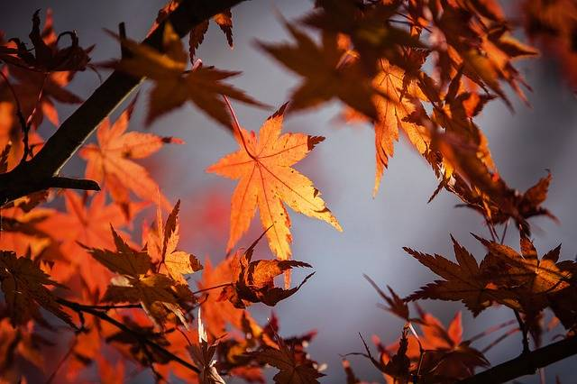 Free photo: Autumn Leave, Japan, Nature, Maple - Free Image on Pixabay - 1415541 (88490)