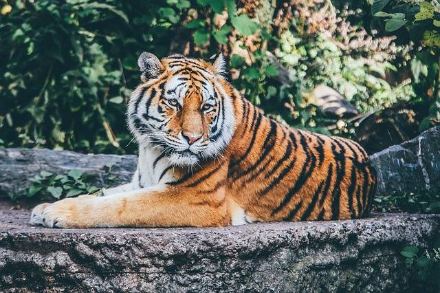 Free photo: Animal, Big Cat, Safari, Tiger - Free Image on Pixabay - 1868911 (89067)