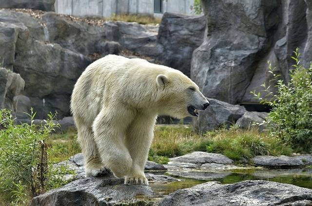 Free photo: Polar Bear, Zoo, Fur, White - Free Image on Pixabay - 2641842 (89068)