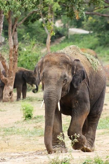 Free photo: Elephant, Big, Nature, Wildlife - Free Image on Pixabay - 800092 (89070)