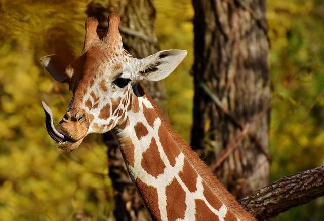 Free photo: Giraffe, Zoo, Animal - Free Image on Pixabay - 2866761 (93376)