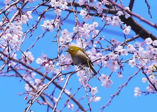 Free photo: Cherry, Spring, Flowers - Free Image on Pixabay - 1304965 (101953)