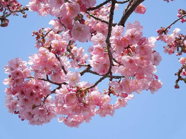 Free photo: Cherry, Samusakura, Spring Flowers - Free Image on Pixabay - 1520937 (102384)