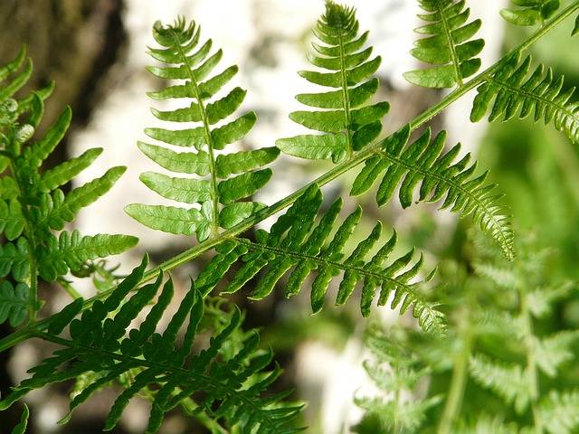 Free photo: Fern, Bracken, Leaf Detail, Birch - Free Image on Pixabay - 1441249 (109398)