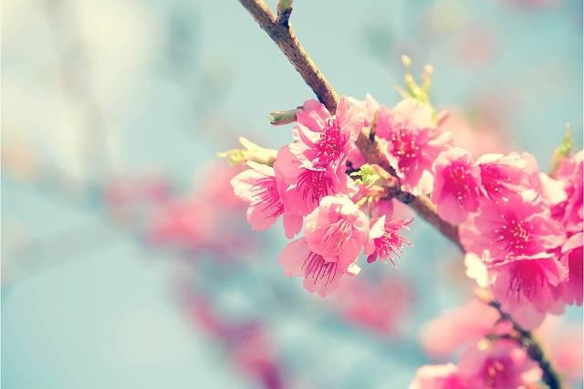 Free photo: Sakura, Cherry Blossom, Flower - Free Image on Pixabay - 2686483 (110363)