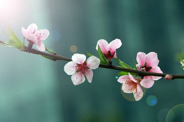 Free photo: Spring, Flower, Peach Blossom, Halo - Free Image on Pixabay - 2395218 (110794)