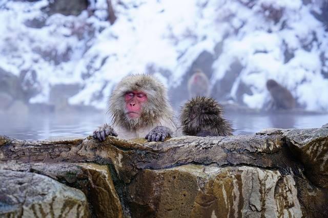 Free photo: Nagano, Monkey, Onsen, Japan - Free Image on Pixabay - 3068677 (111088)
