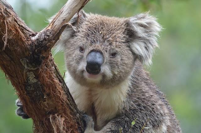 Koala Australia Marsupial · Free photo on Pixabay (115495)