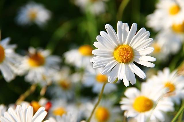 Daisies White Flower · Free photo on Pixabay (132161)