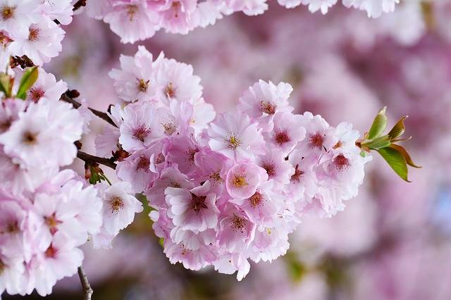 Cherry Blossoms Japanese · Free photo on Pixabay (137254)