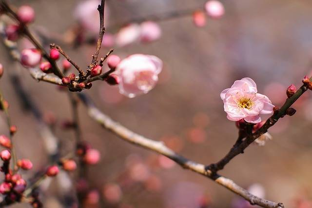 Plum Blossom Tree Wood Forest · Free photo on Pixabay (137333)