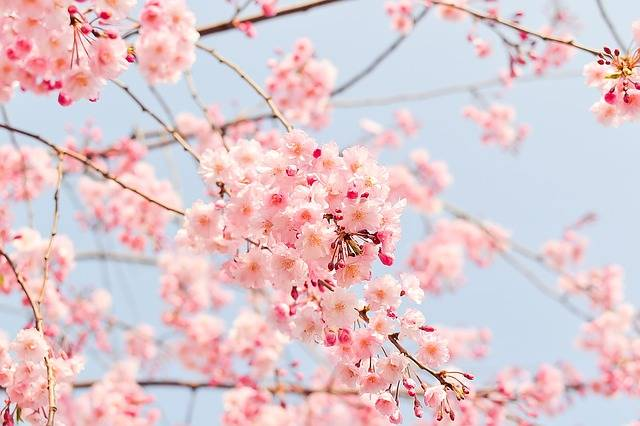 Cherry Tree Flowering · Free photo on Pixabay (140176)