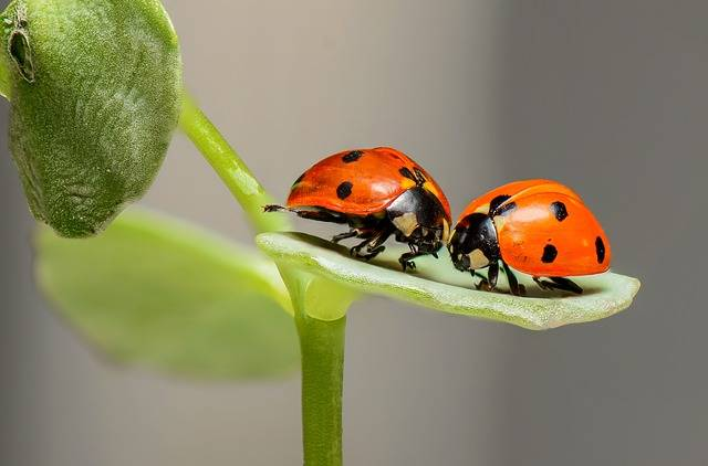Ladybugs Ladybirds Bugs · Free photo on Pixabay (140378)