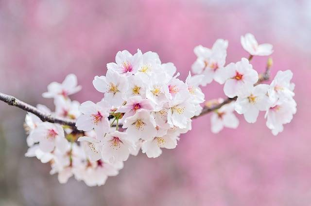 Cherry Blossoms Landscape Spring · Free photo on Pixabay (141014)