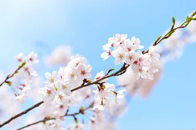 Spring Plant Cherry Blossoms · Free photo on Pixabay (141022)