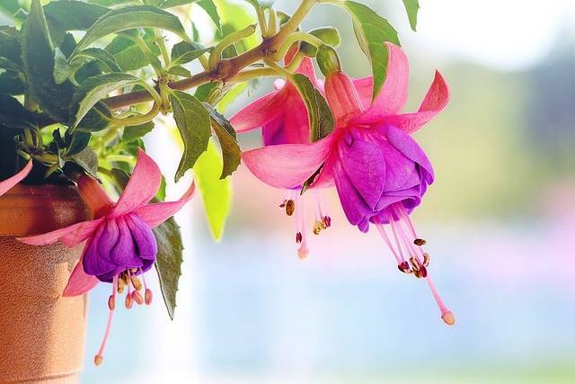 Fuchsia Flowers Macro · Free photo on Pixabay (141252)