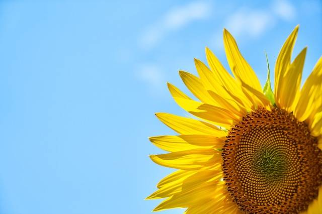 Sunflower Yellow Core - Free photo on Pixabay (142878)