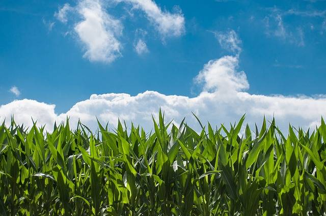 Corn Field Blue Sky Countryside - Free photo on Pixabay (143952)