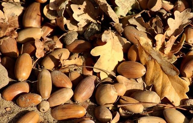 Acorns The Fruit Of Oak Autumn - Free photo on Pixabay (154377)