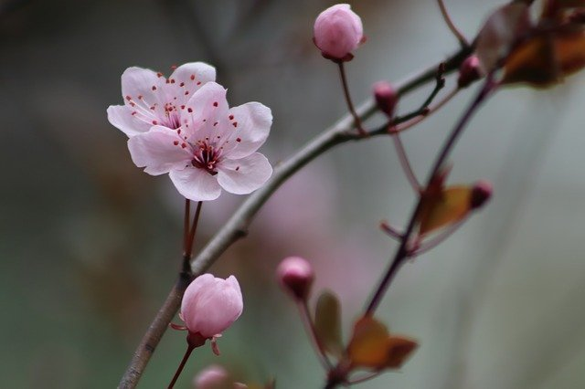 Pink Early Bloomer Plum Blossom - Free photo on Pixabay (167672)