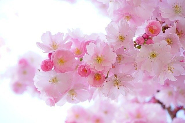 Japanese Cherry Trees Flowers - Free photo on Pixabay (168920)