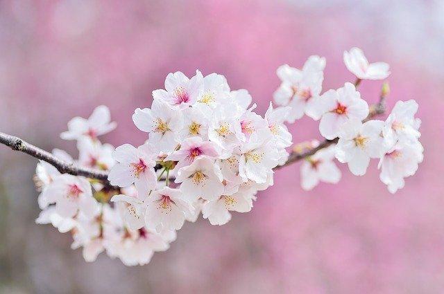 Cherry Blossoms Landscape Spring - Free photo on Pixabay (170180)