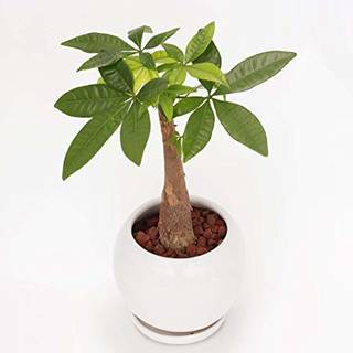 Amazon|イイハナ・ドットコム 観葉植物 パキラ 4号|グリーン・観葉植物 オンライン通販 (135060)