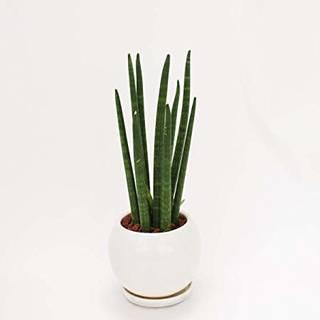 Amazon|イイハナ・ドットコム 観葉植物 サンスベリア スタッキー|グリーン・観葉植物 オンライン通販 (135061)
