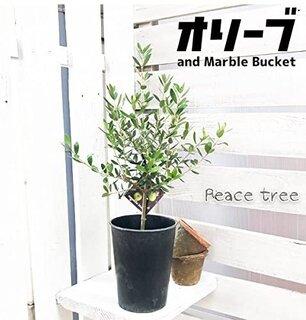 Amazon|オリーブの木 鉢植え 観葉植物 本物 SOUJU 創樹 マーブル鉢カバー付き ガーデニング インテリア ミニ 卓上|観葉植物 オンライン通販 (178246)