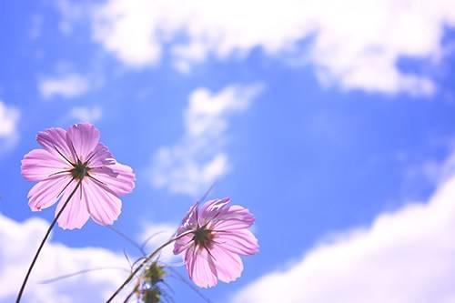 空に向かって咲いているピンク色の秋桜の画像|おしゃれなフリー写真素材:GIRLY DROP (792)