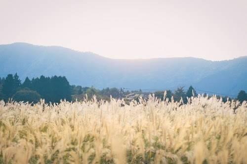 黄金色のススキと深緑色の山と森の画像|おしゃれなフリー写真素材:GIRLY DROP (793)