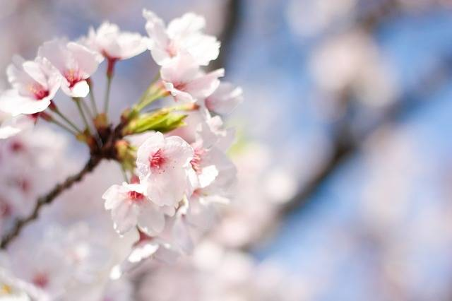Spring Cherry Blossoms Pink - Free photo on Pixabay (4386)