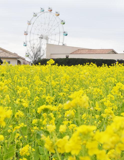"""10万本の""""菜の花""""が見頃!「菜の花まつり」開催中♡"""