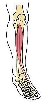 図 下腿部前面にある前脛骨筋