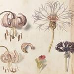 植物画を愛でる「イングリッシュ・ガーデン」展が開催|ART