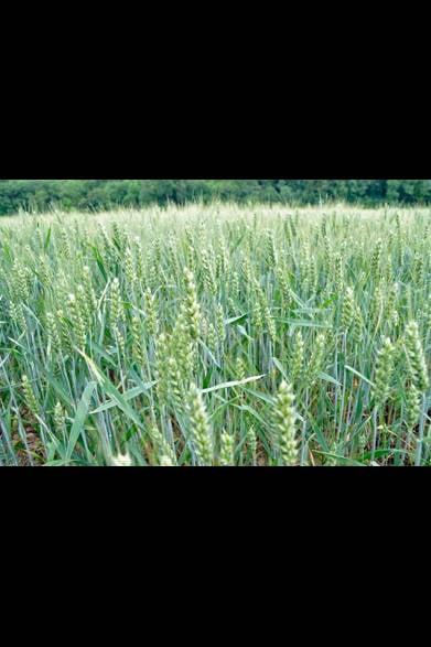 <strong>carnet de jardin 松永 学</strong> 麦の季節が終っても