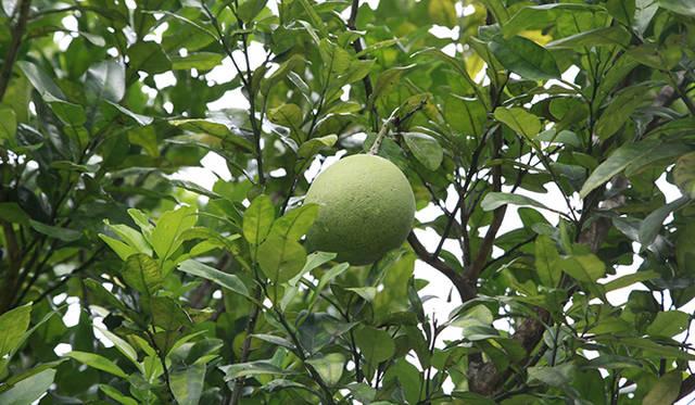 モア・トゥリーズの森で育てられている柑橘系の果実。果実を販売することで得られる収入が、住民の生活や森林の再生に役立てられている