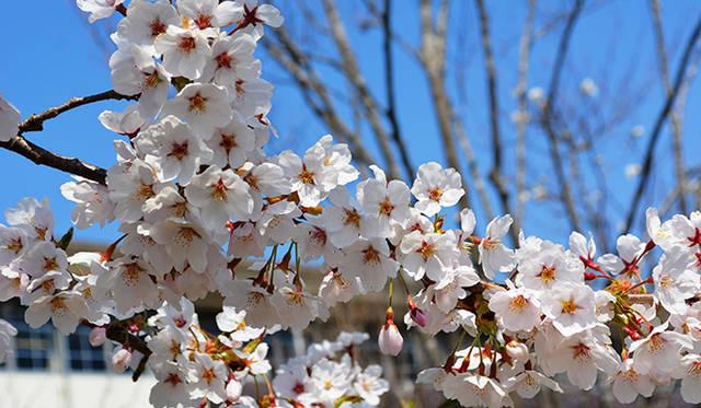 一ノ関駅周辺にはちょうど桜が満開。東北の春の訪れを告げていた