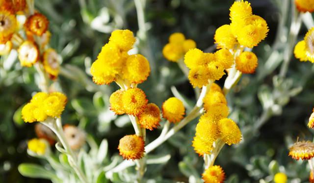 <br /> ワイルドフラワーと呼ばれるオーストラリア現生種の花の季節は7月初旬から12月中旬にかけて