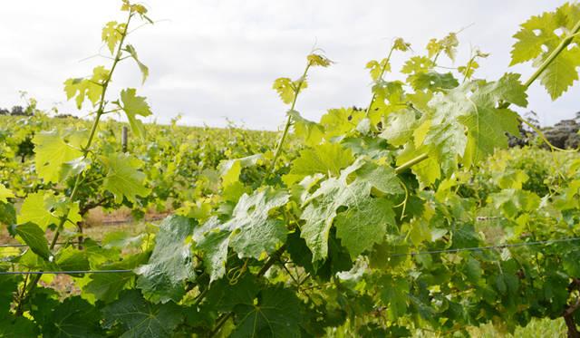 <br /> 季節が逆の南半球、ブドウの収穫は2~5月前後