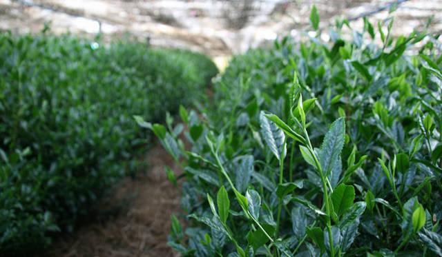<strong>ベージュ アラン・デュカス 東京</strong><br />「コレクション・ベージュ」第1回「春のコレクション」 「櫻井焙茶研究所」が今回のために厳選する日本茶をデザートに。特上「玉露」は福岡県八女市星野村産の「さえみどり」「つゆひかり」「おくみどり」「やぶきた」をブレンド。「抹茶」は京都宇治産の「あさひ」で、通常数種がブレンドされる抹茶を、あえて単一品種で使用する
