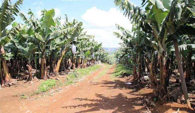 <strong>unifrutti|ユニフルーティー</strong><br />「地球育ち しあわせバナナ&reg;」<br />「地球育ち しあわせバナナ&reg;」が収穫できるのは、フィリピン・ミンダナオ島の中心部に位置するカラトンガ山にある、3年以上かけて整備された厳選バナナ農園だけで、バナナの総作付面積のわずか約0.185%から収穫される。