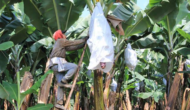 <strong>unifrutti|ユニフルーティー</strong><br />「地球育ち しあわせバナナ&reg;」<br />バナナの実がついたら、バナナにキズがつかないように、また虫や寒さからバナナを守るために、全部のバナナの房に「袋がけ」を一つひとつ人の手により丁寧にほどこす。